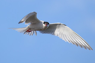 Tern Fishing | by Mike.Pursey