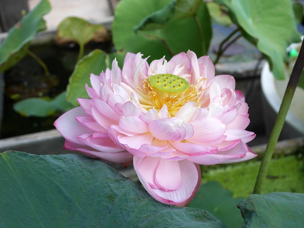 Sacred Lotus Crimson Law Nelumbo Nucifera Flickr