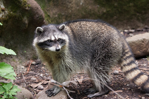 Raccoon | by Krystal.Hamlin
