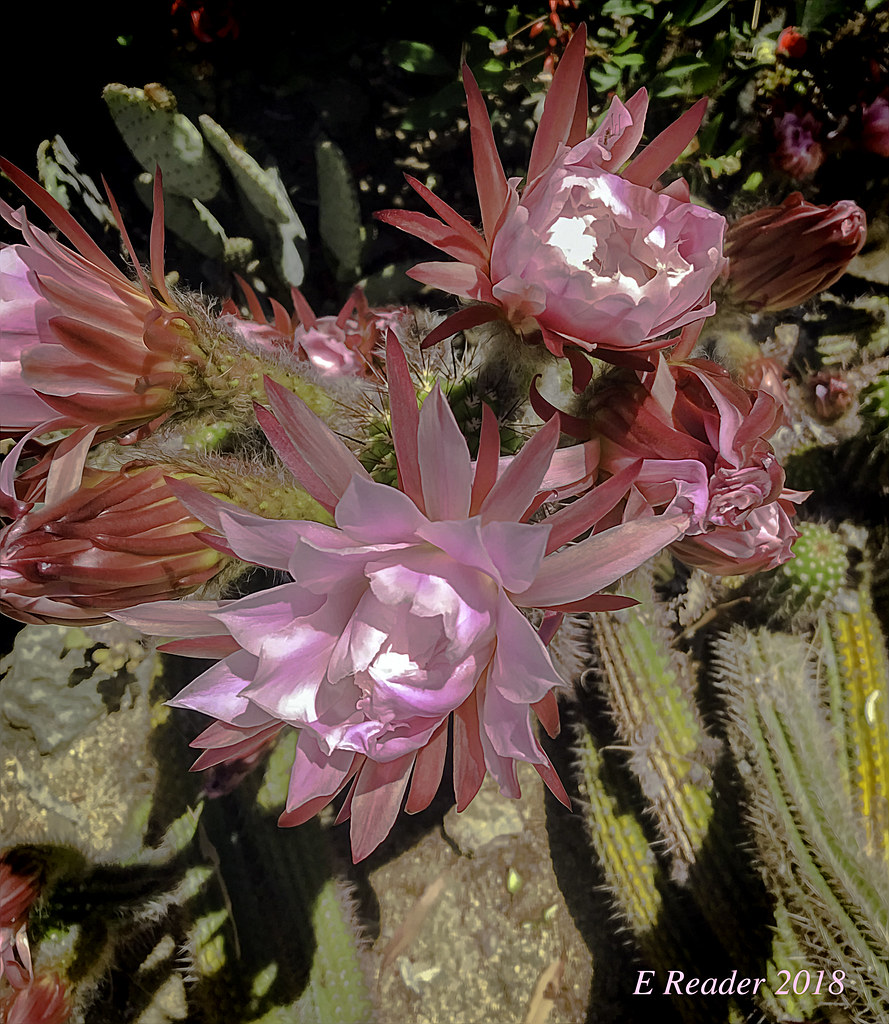 Pink cactus flower large and beautiful pink flowers bloom flickr pink cactus flower by greatest paka photography mightylinksfo