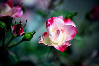rose | by slowhand7530