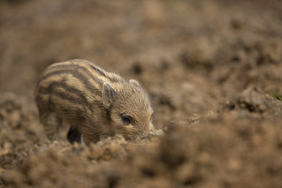 Baby boar blending into its surrounding | by Thomas Winstone