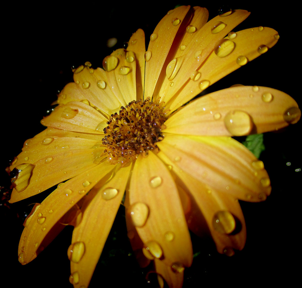 Yellow Flower A Macro Of A Yellow Spanish Daisy From Our G