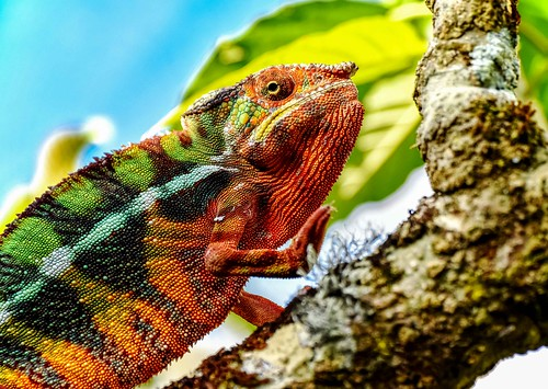 Painted Chameleon | by Rod Waddington
