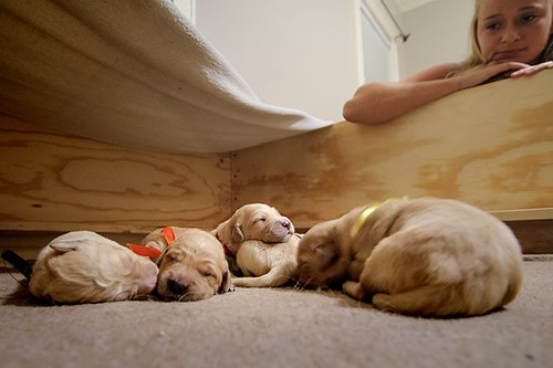 Here comes trouble! #dogpile #Goldenretriever #puppy #flickr | by AndyDavison v5.0