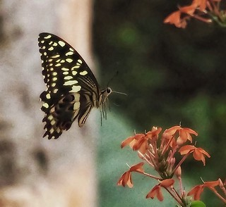 Swallowtail Kenya Coast 1/8000 sec f/5.5 ISO 1600 Olympus | by Phil Gate Keeper