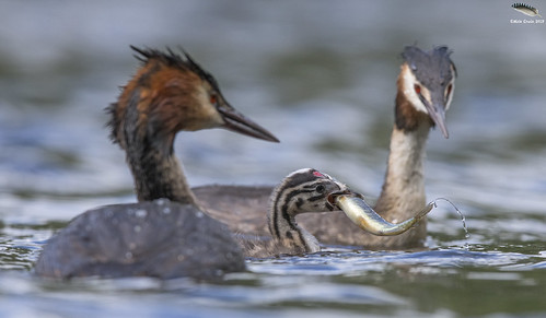 Great Crested Grebe Chick @ 2 weeks old | by Mick Erwin