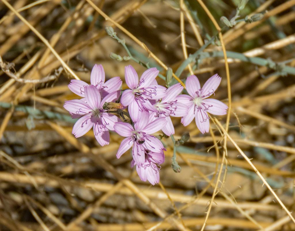 Pretty pink desert flowers saw these wild beauties in chac flickr pretty pink desert flowers by roamer61 mightylinksfo
