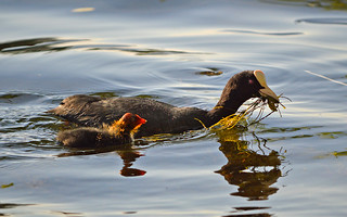 Common coot with chick. Finland, summer | by L.Lahtinen (nature photography)