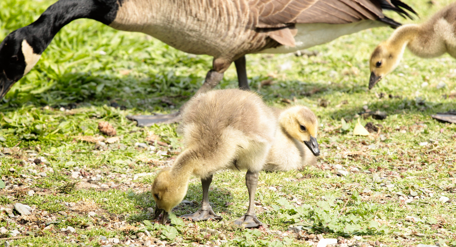 Goslings   by annapolis_rose