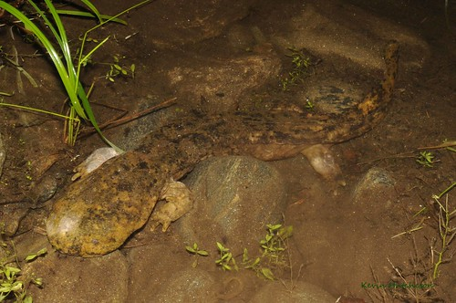Eastern Hellbender | by Kevin Hutcheson