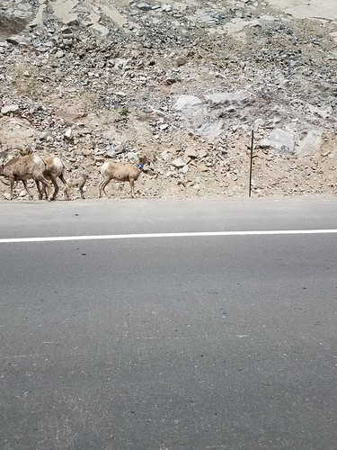 Bighorn sheep near Eastes Park, Co | by WY0WDR