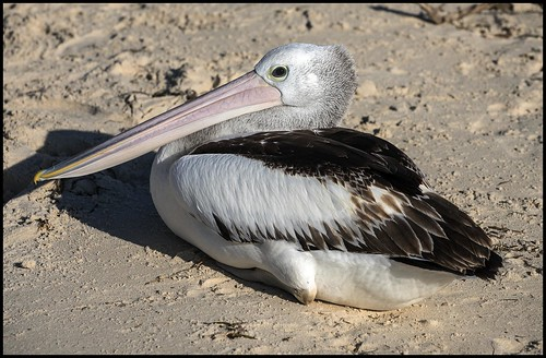 Bribie Island Pelican