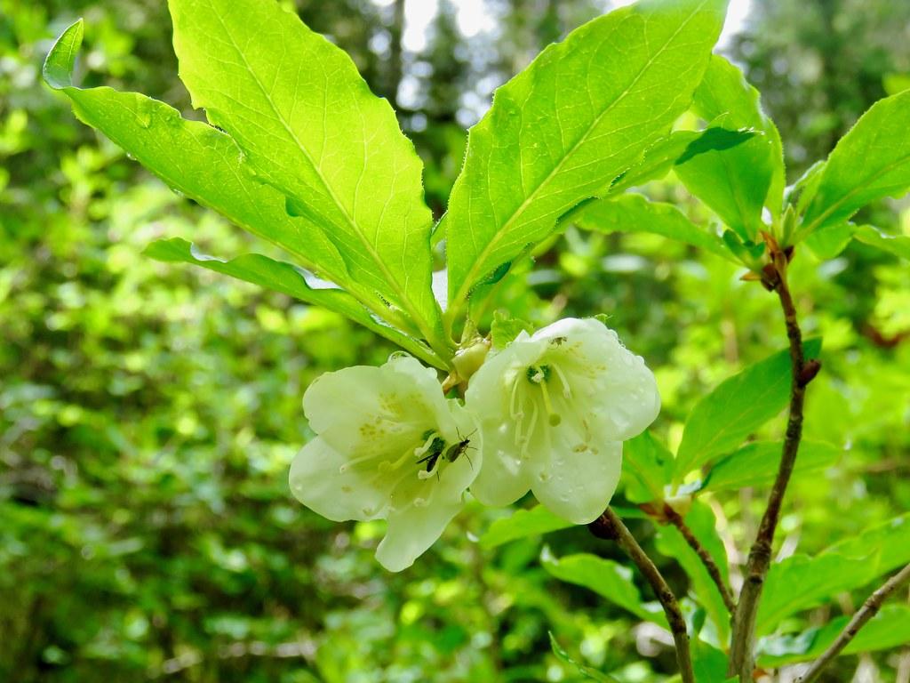 Mt Baldy South Peak Easy Scramble White Flowered Rhodode Flickr