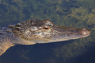 American alligator (Alligator mississippiensis) | by im2fast4u2c