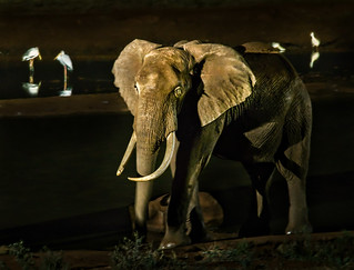 Elephant and Storks at the water hole in reflected light, no flash | by Phil Gate Keeper