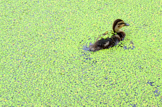Baby duck lost in the green | by Tony Worrall