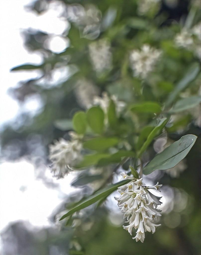 Shrub With White Fragrant Flowers The Flickr Lounge Bokeh Flickr