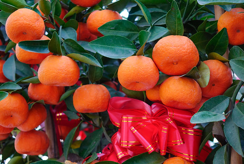 Kumquat trees and fruits | by phuong.sg@gmail.com