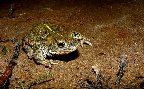 Natterjack toad. Ainsdale. 2013 | by Danny Foy