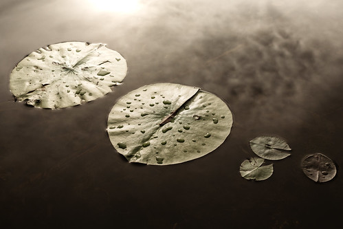 My Family Represented by Lily Pads | by mightyboybrian