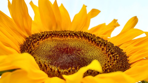 Sunflower | by blumcole6