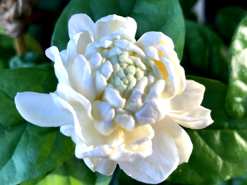 Grand Duke Of Tuscany Jasmine Flower At Dawn A Double Fl Flickr