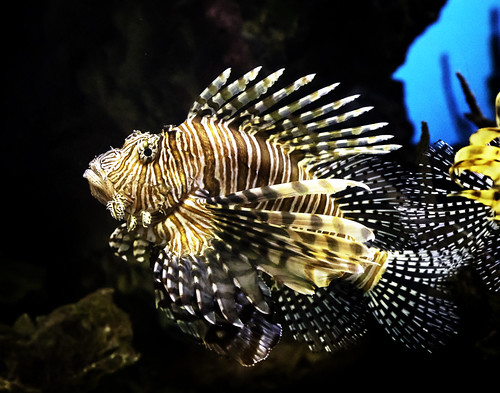 024693763456-102-Lionfish-2 | by Jim You don't need no teeth for kissin' gals