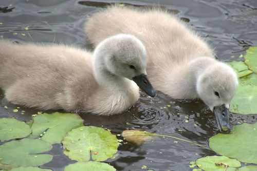 Cute baby swans | by Tony Worrall