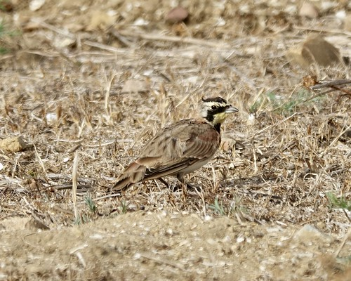Horned Lark | by Mike's Birds