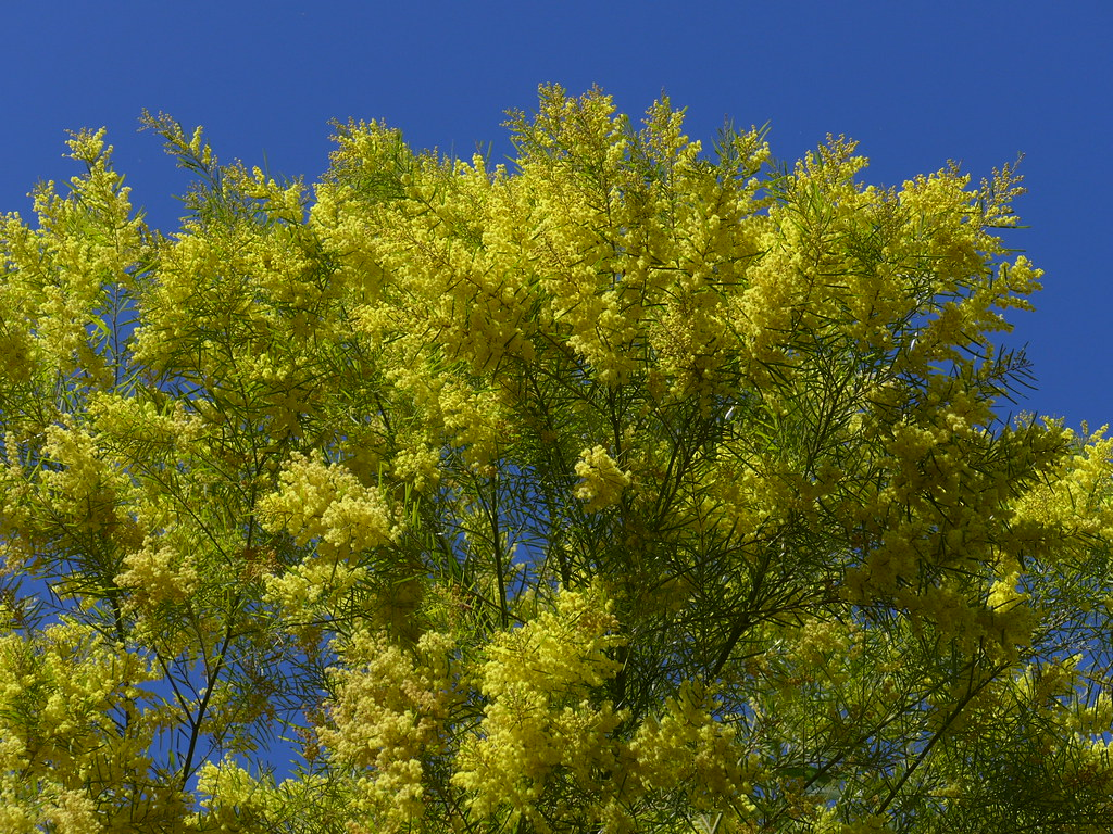 Brilliant yellow flowers of brisbane wattle acacia fimbri flickr brilliant yellow flowers of brisbane wattle acacia fimbriata by tanetahi mightylinksfo