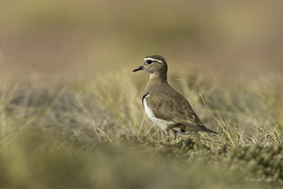 Wee Birds of the Falklands- Rufous-chested Dotterel | by Chantal Jacques Photography