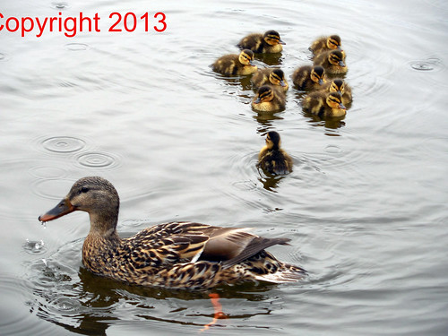 Mother duck with ducklings pic. 10-DSCN1858 | by Captured In Glass