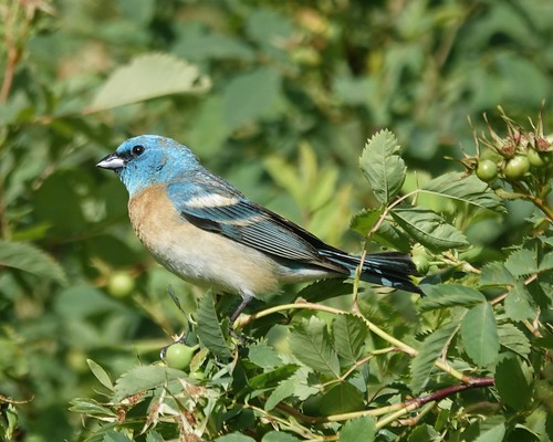 Lazuli Bunting | by Mike's Birds
