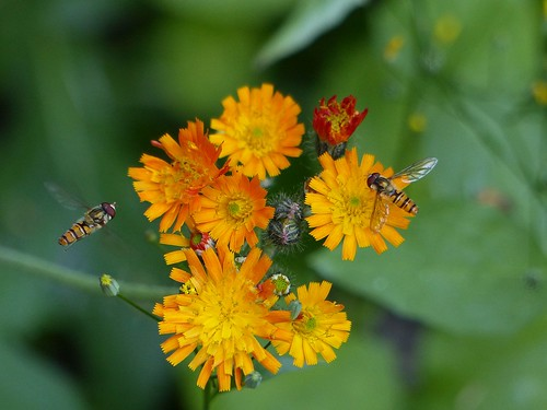 Orange hawkweed with visitors... | by Christa_P