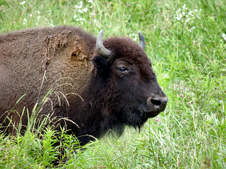 Bison | by George Neat
