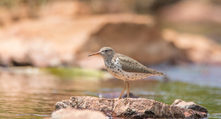 Chevalier Grivelé  -  Spotted Sandpiper    Explore 2018-07-13 | by marieroy0808