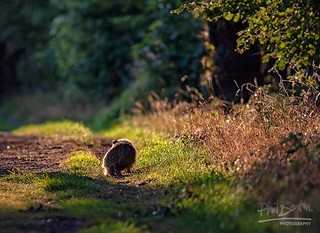 Strolling Badger | by Phil Benton Photos