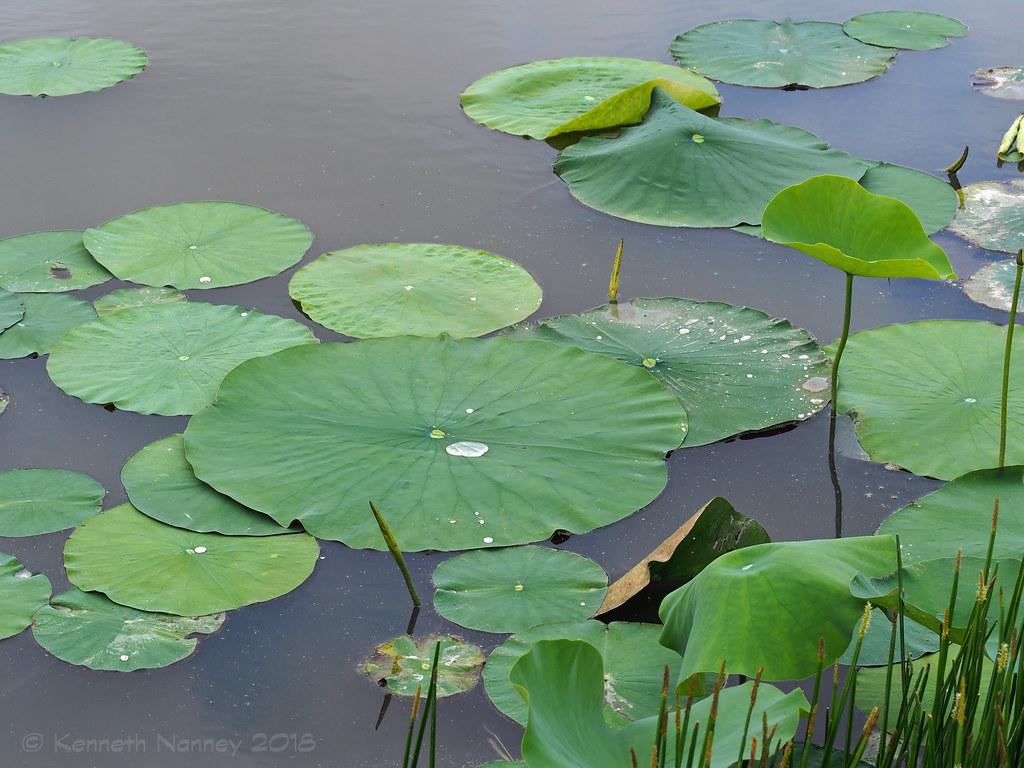 American Lotus 2 American Lotus Nelumba Lutea John Bunk Flickr