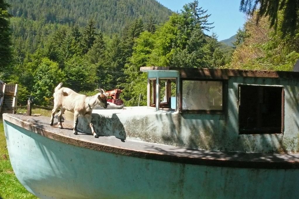 goat on a boat istvan hernadi flickr