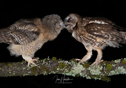 Tawny Owl and owlets | by Ian howells wildlife photography