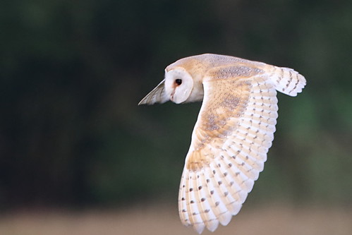 Barn Owl | by Paul Marfell