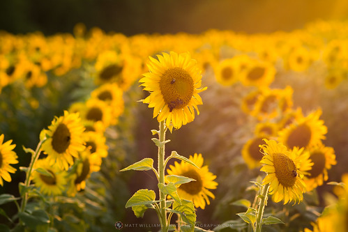 Golden Sunflower Fields | by Matt Williams Gallery