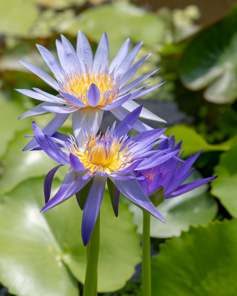 Purple Lotus Flowers Blooming In Pond The Lotus Is The Vie Flickr
