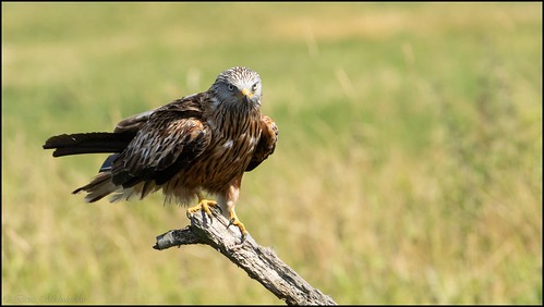 Milan royal / Red Kite | by denismichaluszko