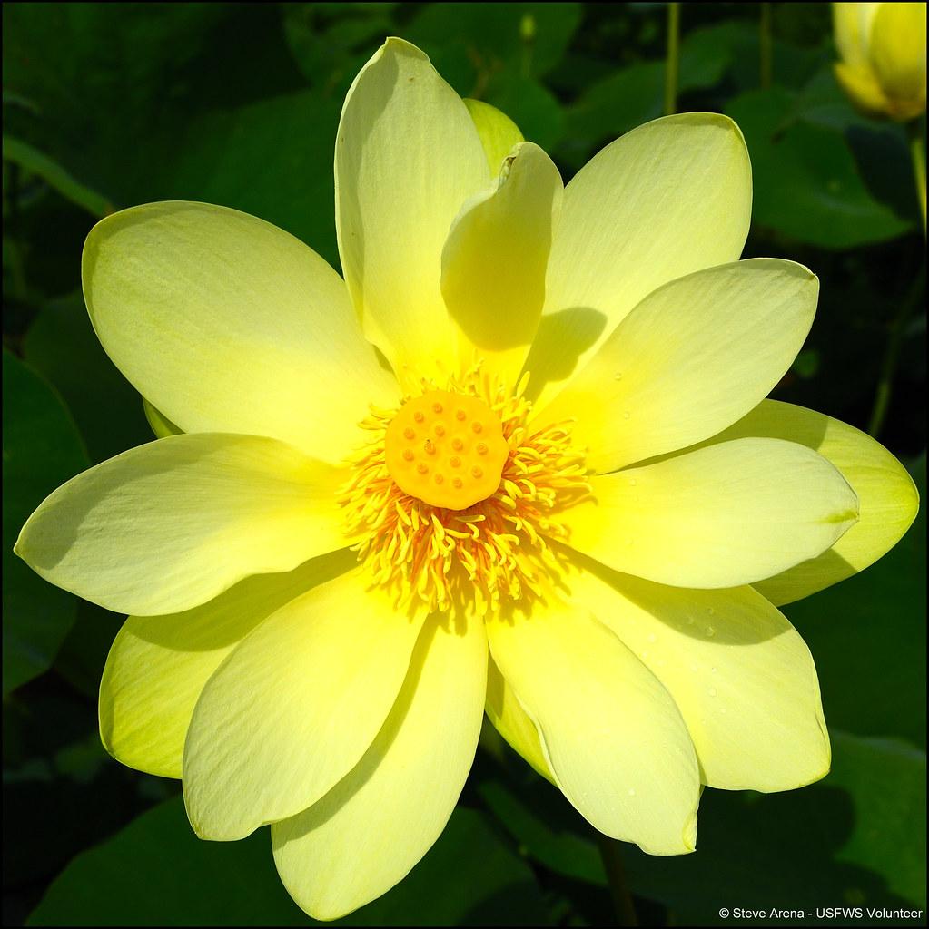 American Lotus Nelumbo Lutea Flower Photographed 14 July Flickr