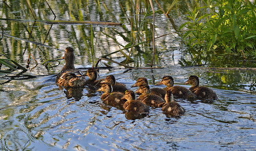 Duck's family 💚 Happy Midsummer! 😊🌷 Hyvää Juhannusta! Finland, Summer. | by L.Lahtinen (nature photography)