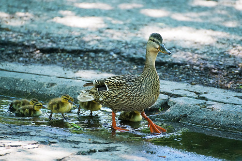 Duck with ducklings on our backyard and street. | by Valery_RW