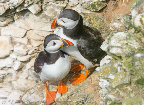 Puffin Love | by ian._harris
