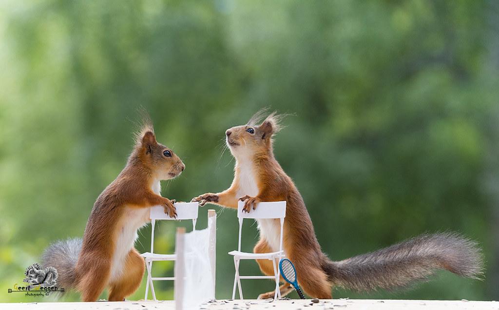 ... Red Squirrels With Chairs On Tennis Court | By Geert Weggen